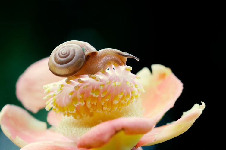 snails, snails over yellow flowers Animal Animal Themes Animal Wildlife Animals In The Wild Beauty In Nature Black Background Close-up Flower Flower Head Flowering Plant Fragility Freshness Invertebrate Marine Mollusk Nature No People One Animal Petal Plant Pollen Selective Focus Snail Vulnerability