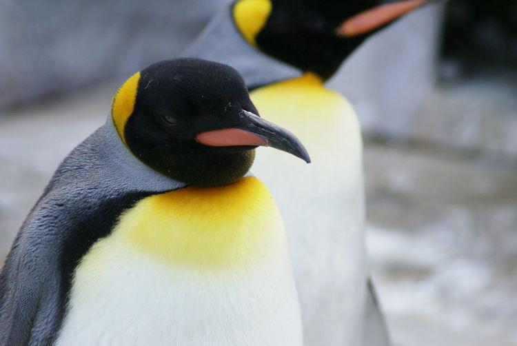 Animal Animal Themes Detail No People Penguins Softness Uenozoo Urban Wildlife Zoology