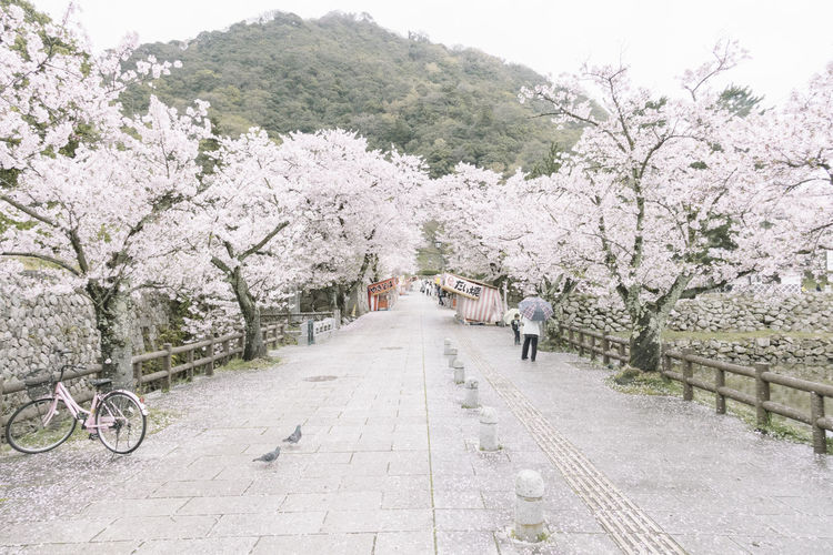 Footpath Amidst Cherry Trees In Park