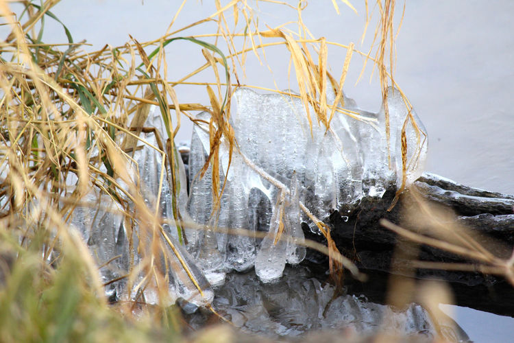 Close-up of icicles on plants at lakeshore
