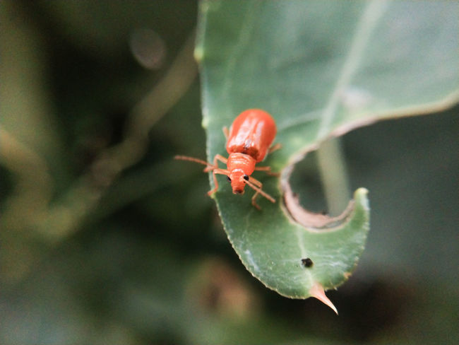 Red bug on the leaf Animals In The Wild Insect Photography Insect Macro  Close-up Bug Prickly Pear Cactus Leaf Insect Close-up Animal Themes Plant