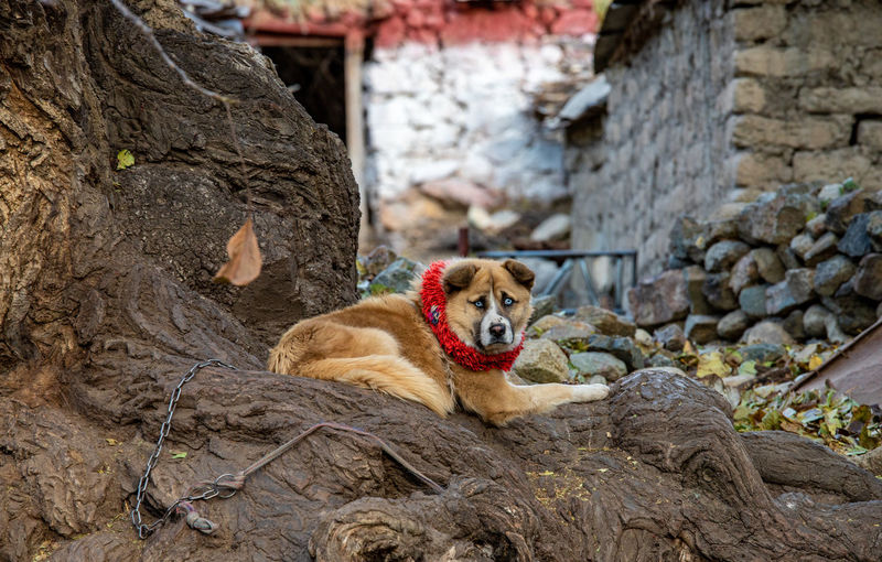 Tibetan dog Mammal Animal Themes Animal One Animal Vertebrate Relaxation Solid No People Day Rock Domestic Animals Pets Rock - Object Canine Animals In The Wild Domestic Nature Dog Portrait Outdoors Tibet Tibetan Dog