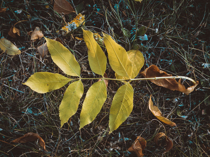dry leaf, autumn colours Yellow Plant Part Leaf Autumn Plant Nature Dry Leaves Close-up Beauty In Nature High Angle View Falling Fall Natural Condition Maple Leaf Outdoors Vulnerability  Fragility Change No People Field Colorful Colors Of Autumn Grassy EyeEmNewHere Autumn Mood