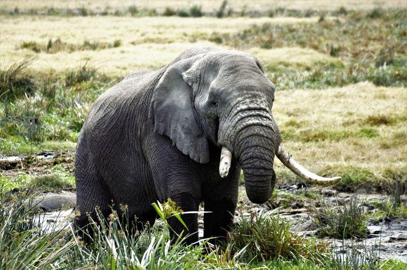 African Elephant Animal Themes Animal Trunk Animal Wildlife Animals In The Wild Day Elephant Elephant Tusks EyeEmNewHere Field Grass Mammal Nature No People One Animal Outdoors Safari Animals Tusk