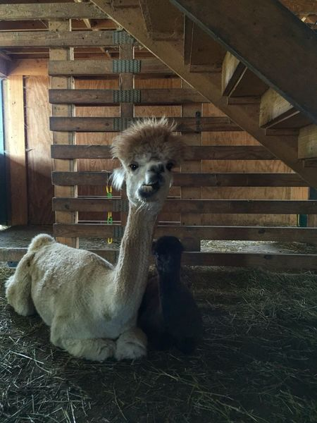 Mother alpaca & cria Alpaca Alpaca Farm Alpaca Baby Cria Motherhood Motherhood In Nature