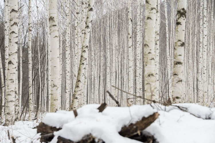 birch tree forest, Wondaeri, Injegun, Gangwondo, South Korea Beauty In Nature Birch Tree Close-up Cold Cold Temperature Day Forest Nature No People Outdoors Snow Tranquility Tree Tree Trunk Weather Winter Winter Wood - Material