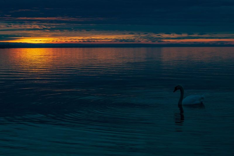 Swan sunset Nature Photography Nature Animals In The Wild Clouds Clouds And Sky Dusk Colours Dusk Bird Water Sunset Beach Silhouette Reflection Sky Coast Swan Water Bird White Swan