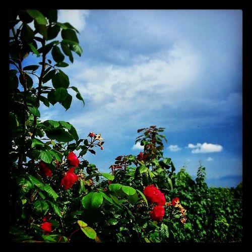 Wild Roses Weinberge Besigheim sky himmel blue wolken clouds white roses wein rosen