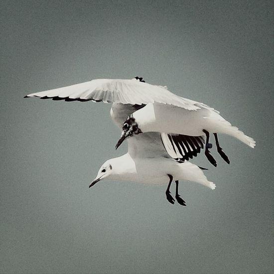 Monochrome Birds Seagulls