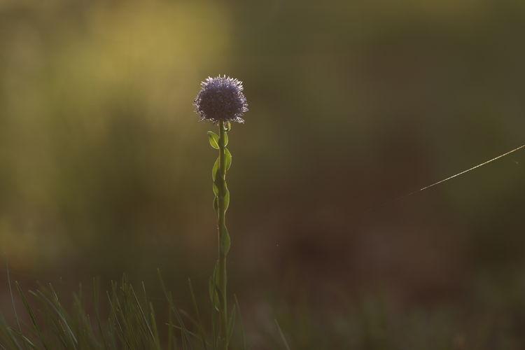Close-up of purple flower on field