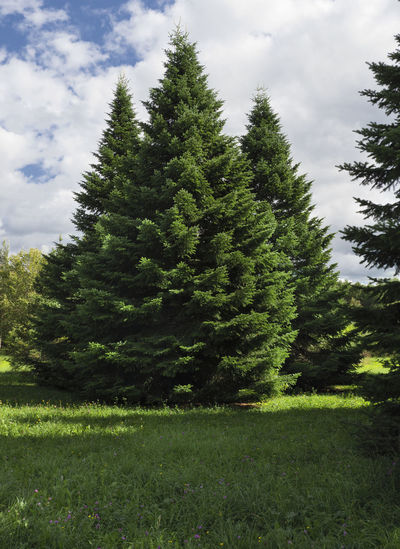 Fluffy spruce trees in the forest. Christmas scene. Beauty In Nature Cloud - Sky Coniferous Tree Day Environment Field Grass Green Color Growth Land Landscape Nature No People Non-urban Scene Outdoors Pine Tree Plant Scenics - Nature Sky Tranquil Scene Tranquility Tree Tree; Green; Spruce; Fir; Environment; Forest; Nature; Tree Branch; Park; Plant; Forestry; Needle; Pine; Background; Decoration; Twig; Wooded; Urge; Lush; Trunk; Botany; Vegetation; Timberland; Detail; Coppice; Pine Forest; Wood; Coniferous; Conifer; Xmas