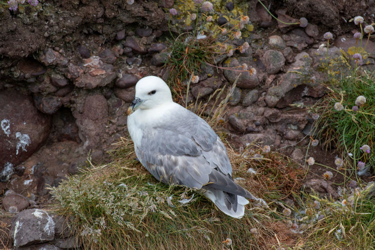 Fulmar (Fulmarus glacialis) nesting on a cliff edge Fulmar Animal Animal Themes Animal Wildlife Animals In The Wild Bird Day Fulmarus Glacialis High Angle View Land Looking Nature No People One Animal Outdoors Perching Plant Rock Rock - Object Seagull Solid Vertebrate