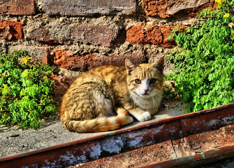 Hairred Cat Brick Wall Pets Corner