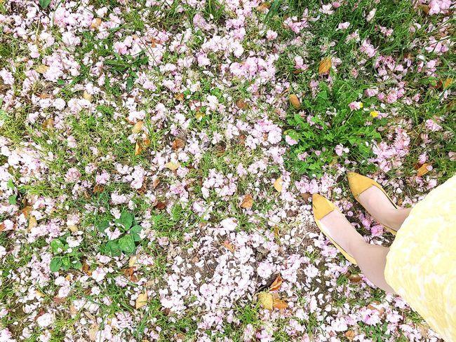 Sakura on the ground Sakura Cherry Blossoms Ground Cherry Flowers, Nature And Beauty BeautifulOutdoors Kyoto,japan Lovethis