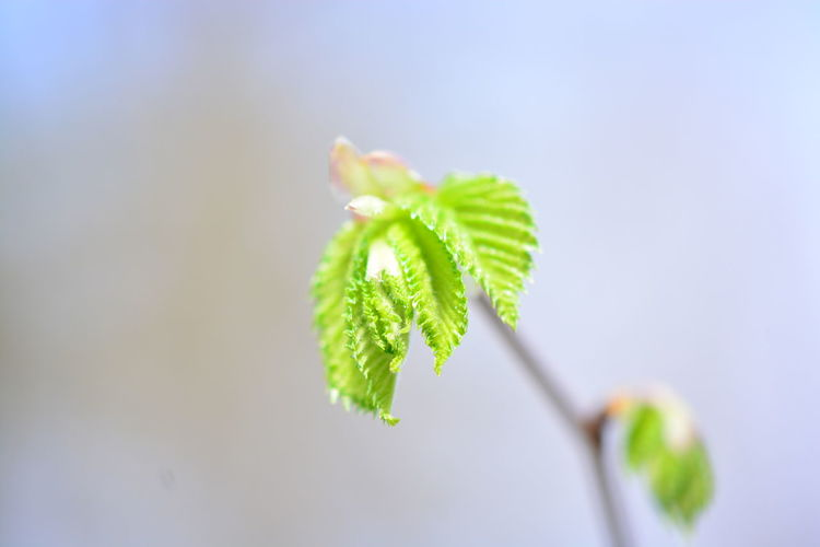 Leaf Plant Plant Part Close-up Green Color Growth Nature Freshness Beauty In Nature No People Beginnings Selective Focus Focus On Foreground Day New Life Outdoors Fragility Vulnerability  Twig Botany Herb