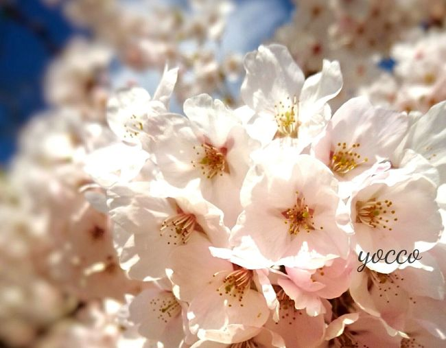 Flower Nature Beauty Beauty In Nature Sakurafestival Nature_collection EyeEm Nature Lover サクラ Spring Flowers Japan Photography Check This Out Hellow World Eyeem Photography 桜 花見 Cherry Blossoms Beauty In Nature Nature Japanese Culuture EyeEm Gallery Cherry Blossom EyeEm Best Shots EyeEm Best Shots - Nature