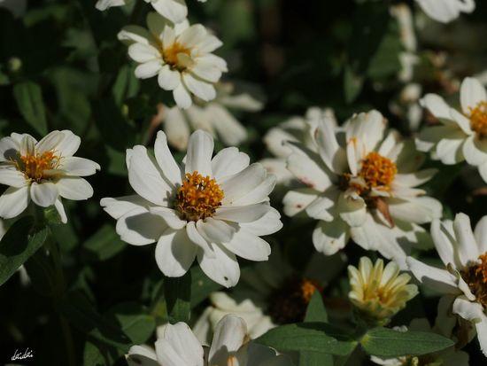 元気出していこう! E-PL3 Flower White No Edit/no Filter