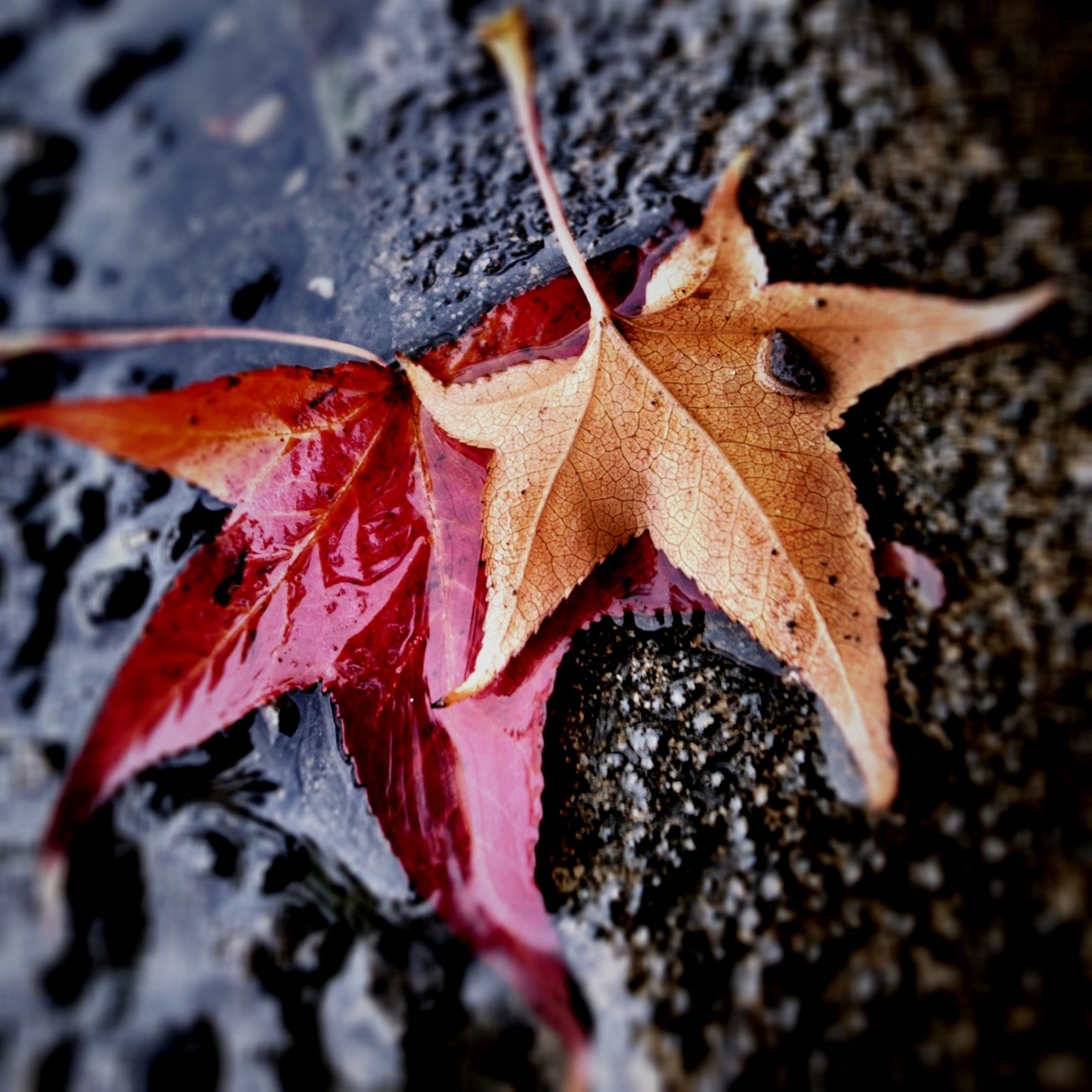 autumn, change, leaf, season, dry, leaves, maple leaf, fallen, close-up, nature, red, leaf vein, orange color, selective focus, natural pattern, high angle view, natural condition, outdoors, day, no people