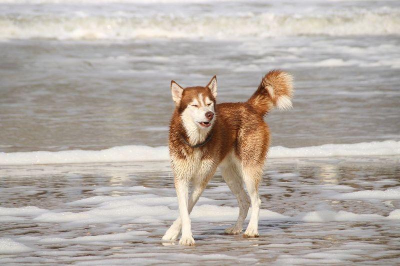 Arctic fox standing on beach
