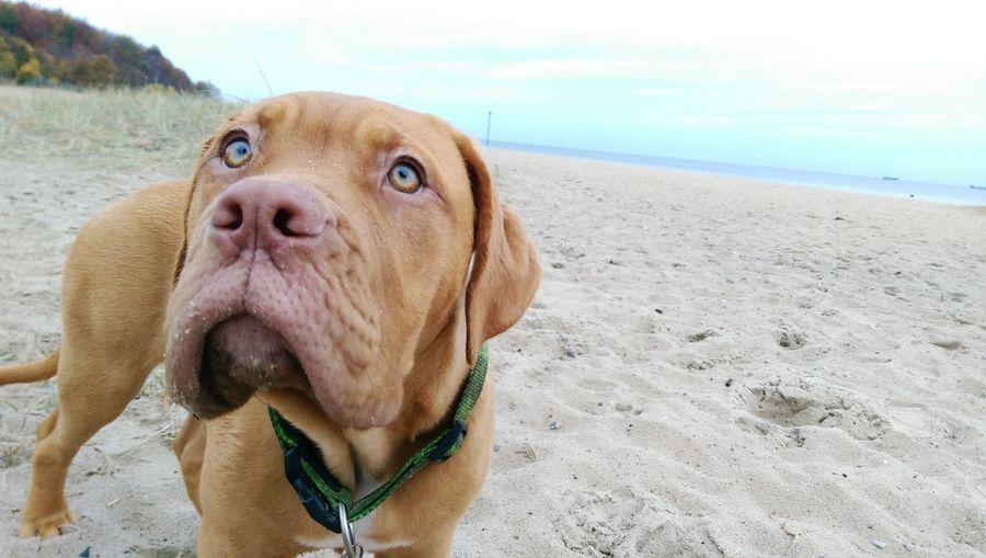 Dog Bordeaux Dogge Dogue De Bordeaux French Mastiff Puppy Cute Beach Beautiful Green Eyes Kiel Strand
