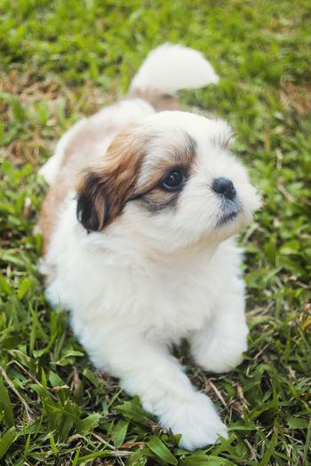 Close-Up Of Shih Tzu Puppy On Grassy Field