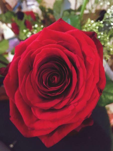 Flower Red Petal Beauty In Nature Rose - Flower