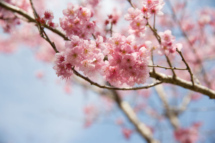 sakura series Beauty In Nature Blossom Branch Cheeryblossom Cherry Blossom Cherry Tree Close-up Day Flower Fragility Freshness Growth Low Angle View Nature No People Outdoors Petal Pink Color Sakura Selective Focus Springtime Tree Twig