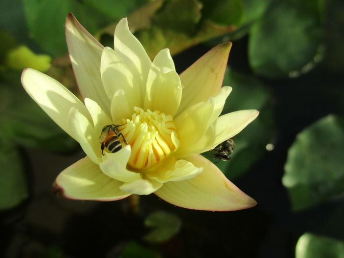 flower Animal Themes Beauty In Nature Blooming Close-up Day Flower Flower Head Fragility Freshness Growth Leaf Lotus Water Lily Nature No People Outdoors Petal Plant Water Lily, Flower ดอกบัว