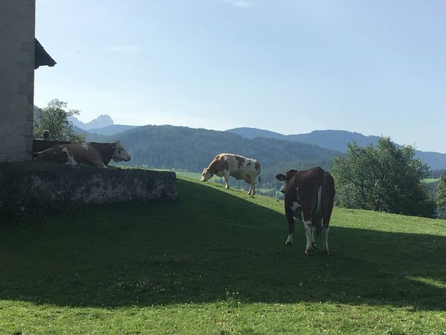 Grass Animal Themes Mammal Field Domestic Animals Grazing Nature Day Livestock No People Green Color Landscape Outdoors Tree Cow Mountain Beauty In Nature Full Length Sky