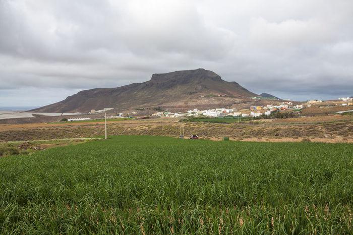 Campo de cebollas en el municipio de Gáldar, Gran Canaria. Gran Canaria Gáldar SPAIN Agricultural Crops Europe Green Color Landscape Mountain Nature Onions Outdoors Plant Rural Scene