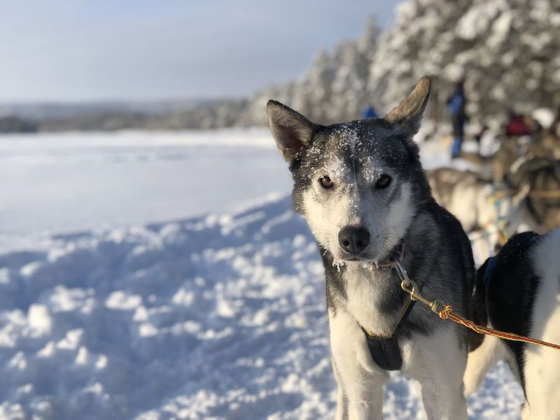 Love Norway Animal Animal Head  Cold Temperature Day Dog Domestic Domestic Animals Focus On Foreground Husky Land Leash Mammal Nature No People One Animal Pets Sled Dog Sledding Snow Snowcapped Mountain Vertebrate Winter World