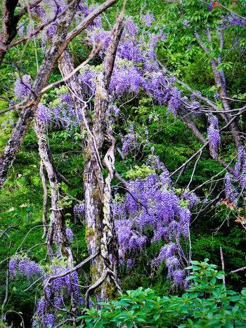 Beauty In Nature Branch Day Flower Fragility Freshness Green Green Color Green Leaves Growth Nature No People Outdoors Plant Purple Purple Flower Purple Flowers Scenics Springtime Tranquil Scene Tranquility Tree Wisteria