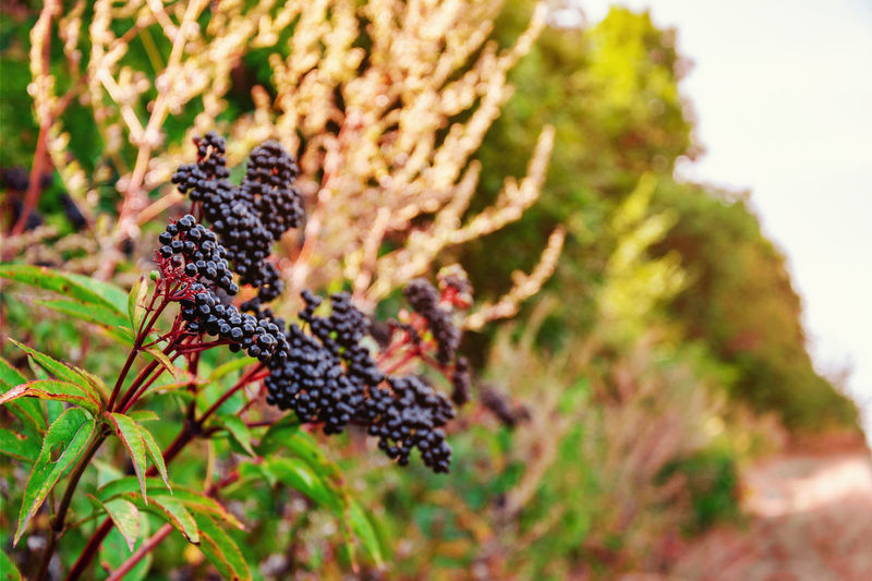 Bunches of ripe