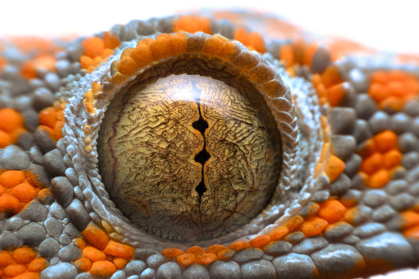 close up shot of the eye of a Tokay Gecko Animal Animal Themes Celebration Close-up Creativity Day Focus On Foreground Food Food And Drink Healthy Eating Indoors  Nature No People One Animal Orange Color Pattern Studio Shot Sunlight Wellbeing