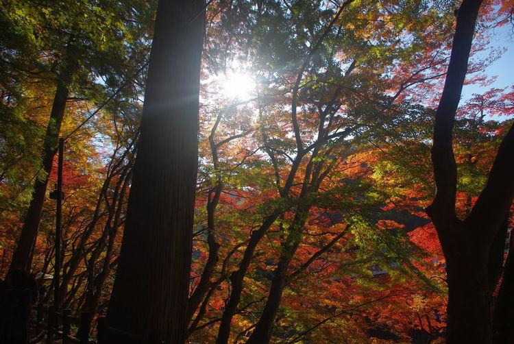 香嵐渓 紅葉 秋の散歩 一眼レフで撮影