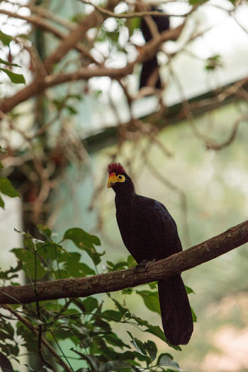 Ross Turaco bird Musophaga rossae is also called the go-away bird and is from Africa Musophaga Rossae Ross Turaco Turaco Animal Themes Animal Wildlife Animals In The Wild Beauty In Nature Bird Branch Day Focus On Foreground Nature No People One Animal Outdoors Perching Tree
