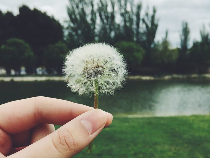 Cropped image of person holding dandelion by lake