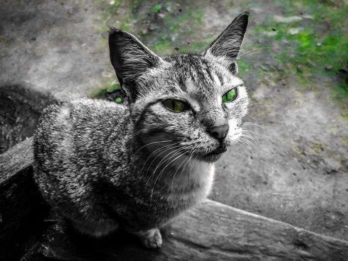 Domestic Cat Pets One Animal Animal Themes Domestic Animals Feline Mammal Portrait Looking At Camera Close-up Sitting Day
