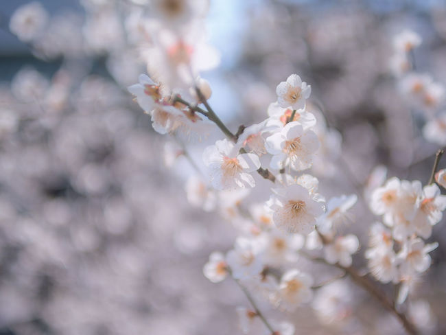 Plum Blossom in Tokyo. Plum Blossom Beauty In Nature Blooming Blooming Flower Blossom Blossoms  Botany Branch Close-up Day Flower Flower Head Fragility Freshness Growth Nature No People Outdoors Petal Plum Selective Focus Springtime White Color