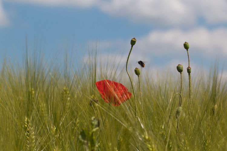 Bumble Bee Barley Barley Field Beauty In Nature Day Field Flower Growth Nature No People Outdoors Papaver Plant Poppy Rural Scene Sky