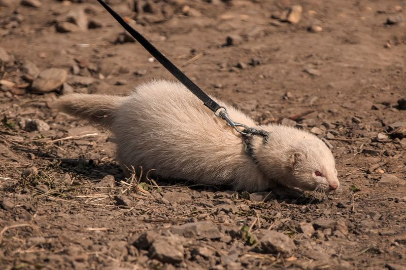 Otter on a leash Animal Themes Animal One Animal Land Animal Wildlife Animals In The Wild Day Sand Dirt Field No People Zoology Outdoors