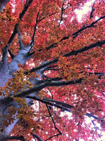 Lovely indian summer Autumn Branch Change Close-up Colorful Autumn Deciduous Deciduous Forest Deciduous Tree Fall Beauty Forest Growth Indian Summer Leaf Leaves Limb Maple Nature Outdoors Personal Perspective Pink Leaves Red Red Leaves Tree Trunk Wood