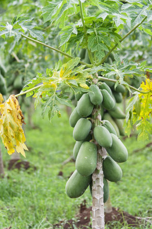 Papaya Tree - Alajuela province, Costa Rica Agriculture Beauty In Nature Close-up Costa Rica Crop  Cultivated Land Exotic Food Food And Drink Freshness Freshness Fruit Growth Leaf Nature No People Outdoors Papaya Papaya Tree PawPaw Tree Tropical Tropical Climate Trunk Unripe