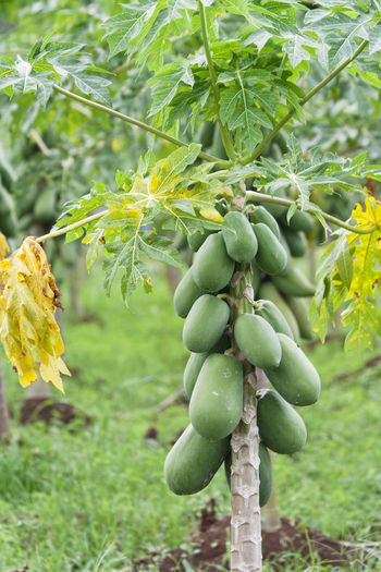 Papaya Tree - Alajuela province, Costa Rica Agriculture Costa Rica Freshness PawPaw Tropical Fruits Agriculture Close-up Food Food And Drink Fresh Fruits Fruit Green Color Growth Harvest Healthy Eating Nature No People Organic Organic Food Papaya Papaya Tree Ripe Single Tree Tree Unripe