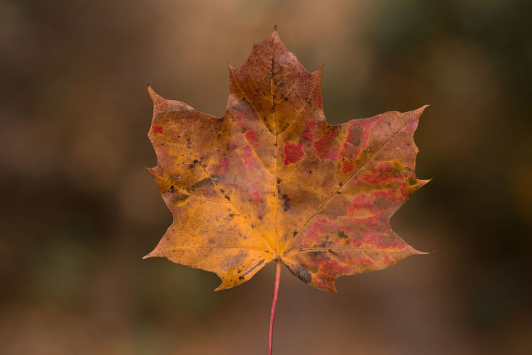 nice leaf🍁 Beliebte Fotos Herbstspaziergang Nature Photography Atumn Photograhy Autumn Beauty In Nature Beauty In Nature Change Close Up Close-up Day Dry Focus On Foreground Leaf Maple Maple Leaf Nature No People Outdoors Scenics