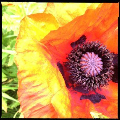 My garden is full of beautiful Poppy s. Hipstamatic Hornbecker Blankonoir