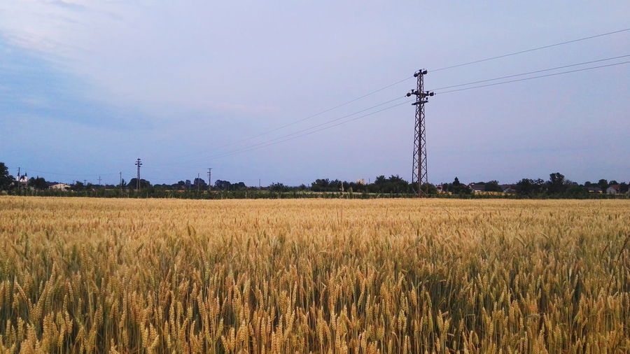 Fields of gold. Field Rural Scene Agriculture Cable Technology Electricity  Crop  Cereal Plant Sky Day No People Landscape Beauty In Nature Nature Telephone Line Outdoors Growth Tree EyeEm Nature Lover EyeEm Best Shots - Nature Countryside Country Beautiful Electricity Pylon Capture The Moment The Great Outdoors - 2017 EyeEm Awards