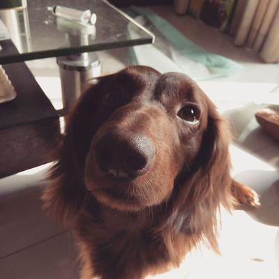 Dachshundlovers Ilovemydog Dog Pets Dachshundsofeyeem Puppy❤ Dachshund Dachshundoftheday Puppypower Puppy Check This Out