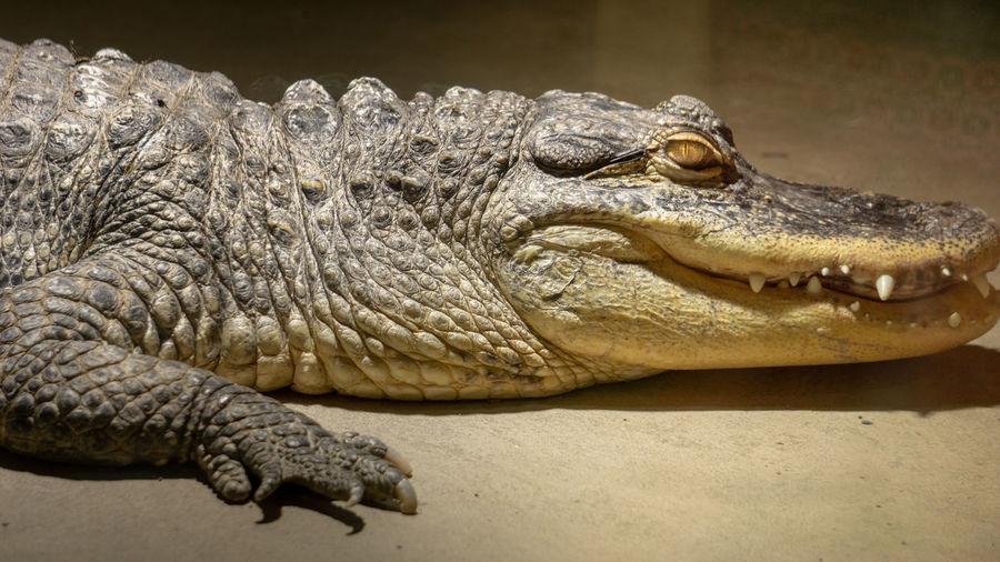 Reptile Crocodile Close-up Zoo Animal Skin Animals In Captivity Skin