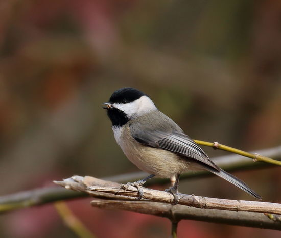 A tiny bird, eats a lot!😊😊 Bird Bird Watching Perching Songbird  Animals In The Wild Nature Beauty In Nature Close-up Branch Animal Wildlife Chickadee One Animal in United States